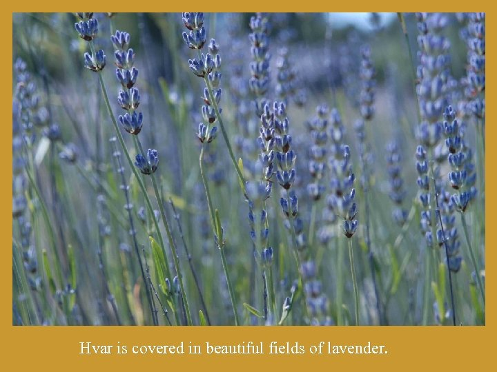 Hvar is covered in beautiful fields of lavender.