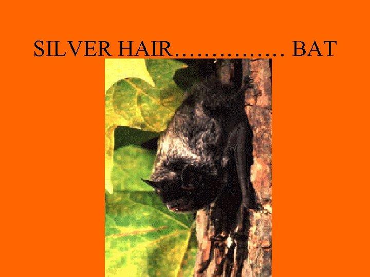 SILVER HAIR…………… BAT