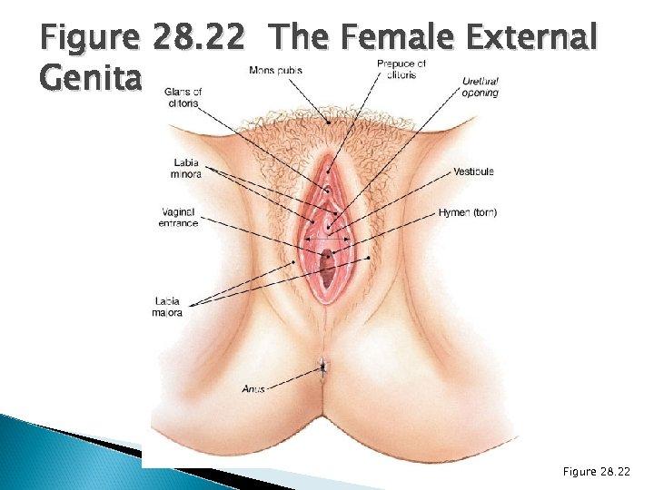 Figure 28. 22 The Female External Genitalia Figure 28. 22