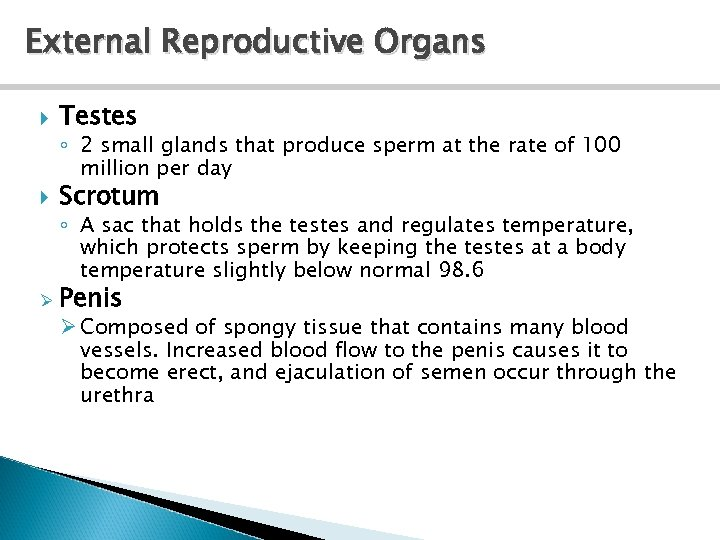 External Reproductive Organs Testes ◦ 2 small glands that produce sperm at the rate
