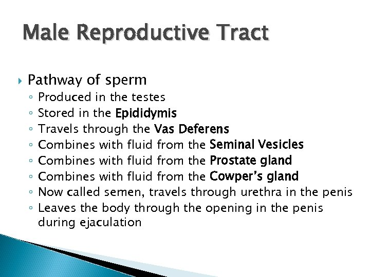 Male Reproductive Tract Pathway of sperm ◦ ◦ ◦ ◦ Produced in the testes