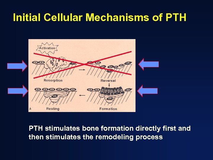 Initial Cellular Mechanisms of PTH stimulates bone formation directly first and then stimulates the