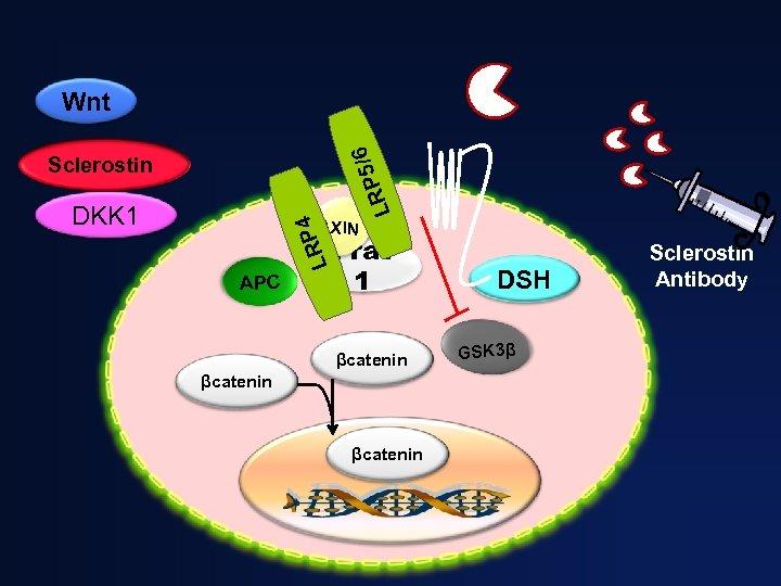 /6 Wnt RP 5 L Sclerostin AXIN LRP 4 DKK 1 APC Frat 1