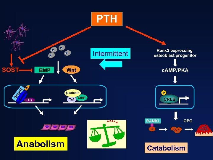 PTH Intermittent Anabolism Catabolism