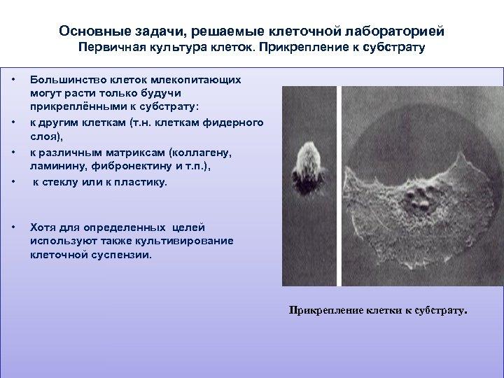 Основные задачи, решаемые клеточной лабораторией Первичная культура клеток. Прикрепление к субстрату • • •