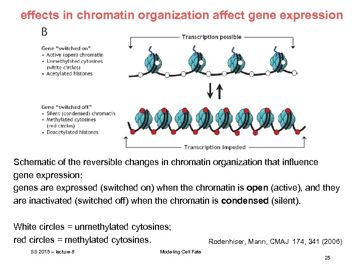effects in chromatin organization affect gene expression Schematic of the reversible changes in chromatin
