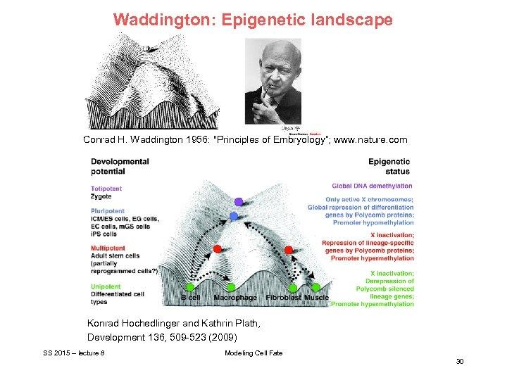 Waddington: Epigenetic landscape Conrad H. Waddington 1956: