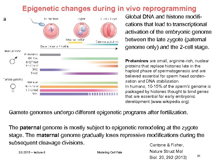 Epigenetic changes during in vivo reprogramming Global DNA and histone modifications that lead to