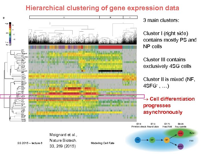 Hierarchical clustering of gene expression data 3 main clusters: Cluster I (right side) contains