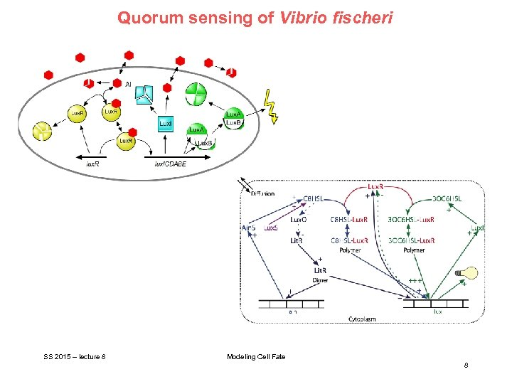 Quorum sensing of Vibrio fischeri SS 2015 – lecture 8 Modeling Cell Fate 8