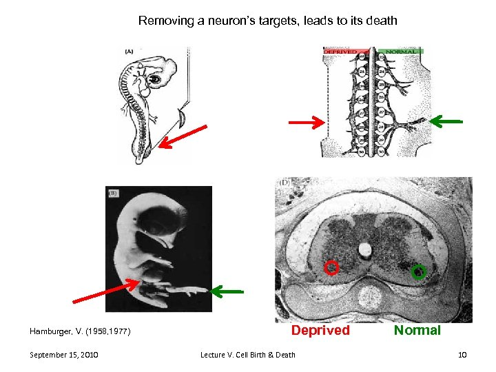 Removing a neuron's targets, leads to its death Hamburger, V. (1958, 1977) September 15,