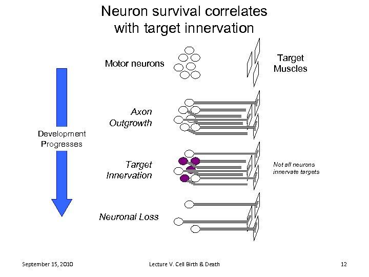 Neuron survival correlates with target innervation Motor neurons Target Muscles Axon Outgrowth Development Progresses