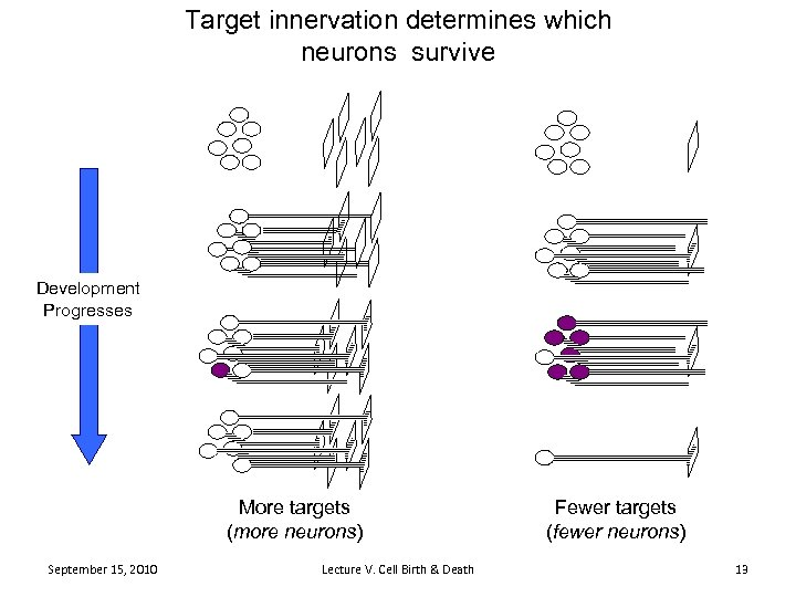 Target innervation determines which neurons survive Development Progresses More targets (more neurons) September 15,
