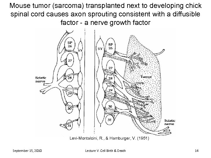 Mouse tumor (sarcoma) transplanted next to developing chick spinal cord causes axon sprouting consistent
