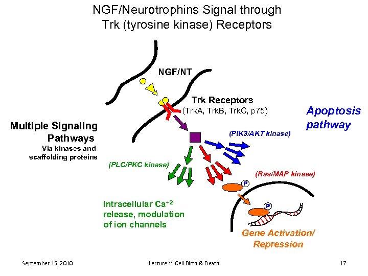NGF/Neurotrophins Signal through Trk (tyrosine kinase) Receptors NGF/NT Trk Receptors (Trk. A, Trk. B,