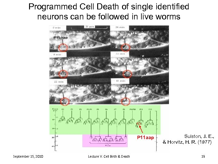 Programmed Cell Death of single identified neurons can be followed in live worms P