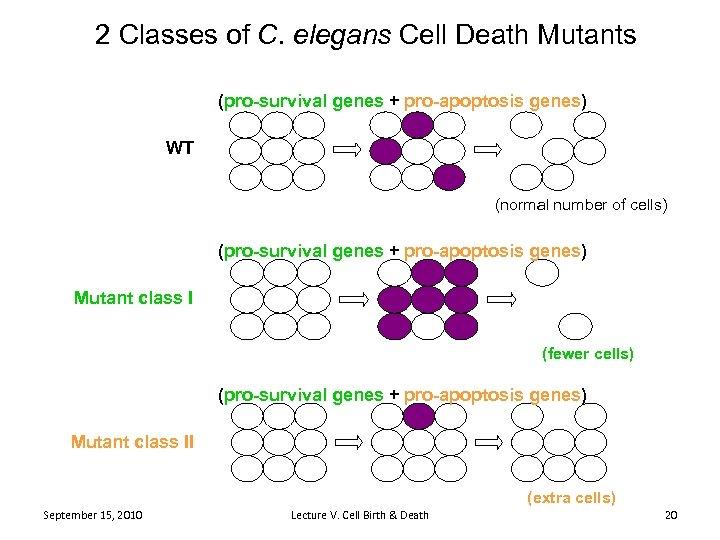 2 Classes of C. elegans Cell Death Mutants (pro-survival genes + pro-apoptosis genes) WT