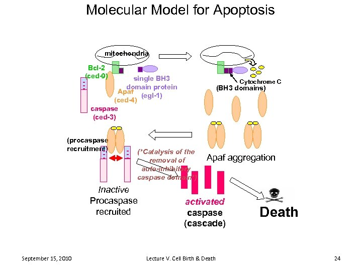 Molecular Model for Apoptosis mitochondria Bcl-2 (ced-9) - single BH 3 domain protein Apaf