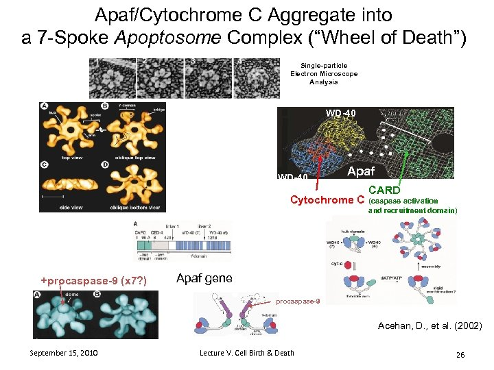 """Apaf/Cytochrome C Aggregate into a 7 -Spoke Apoptosome Complex (""""Wheel of Death"""") Single-particle Electron"""