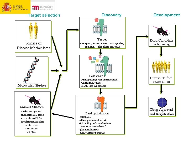 Target selection Studies of Disease Mechanisms Discovery Target -receptor; -ion channel; -transporter; -enzyme; -