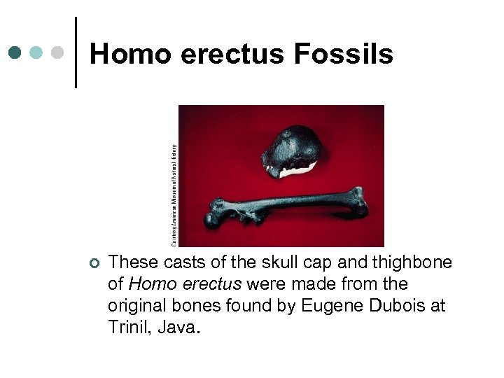 Homo erectus Fossils ¢ These casts of the skull cap and thighbone of Homo