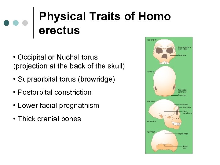 Physical Traits of Homo erectus • Occipital or Nuchal torus (projection at the back