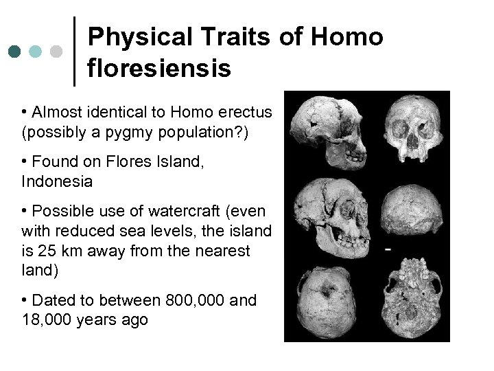 Physical Traits of Homo floresiensis • Almost identical to Homo erectus (possibly a pygmy