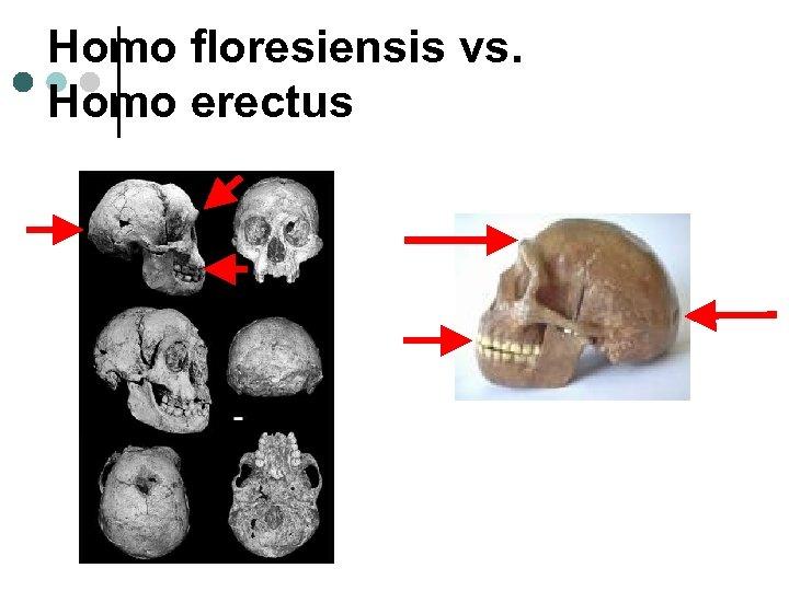 Homo floresiensis vs. Homo erectus