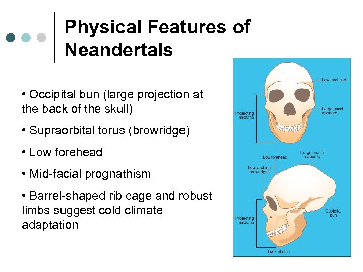 Physical Features of Neandertals • Occipital bun (large projection at the back of the