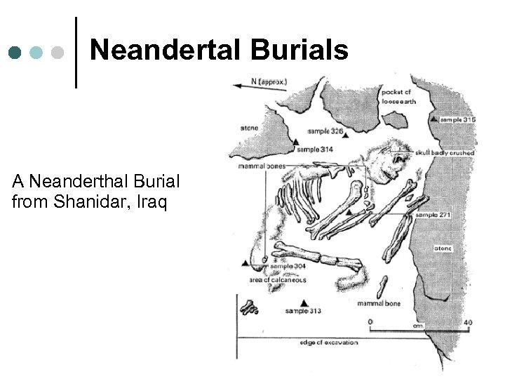 Neandertal Burials A Neanderthal Burial from Shanidar, Iraq