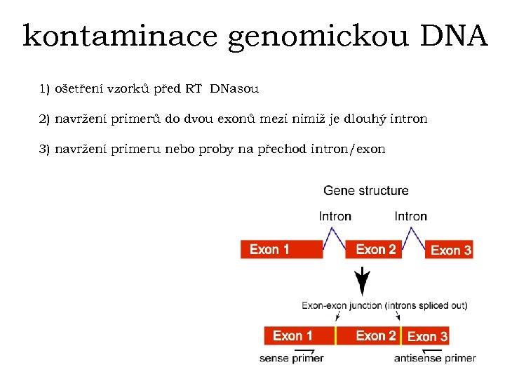 kontaminace genomickou DNA 1) ošetření vzorků před RT DNasou 2) navržení primerů do dvou