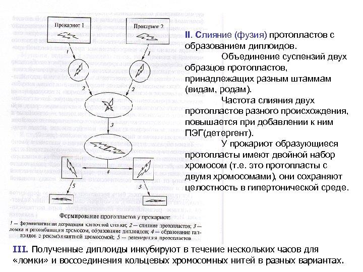 II. Слияние (фузия) протопластов с образованием диплоидов. Объединение суспензий двух образцов протопластов, принадлежащих разным