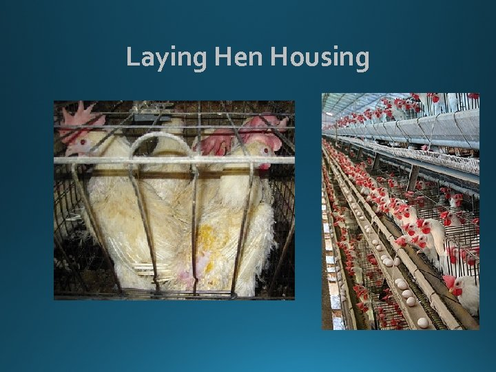 Laying Hen Housing