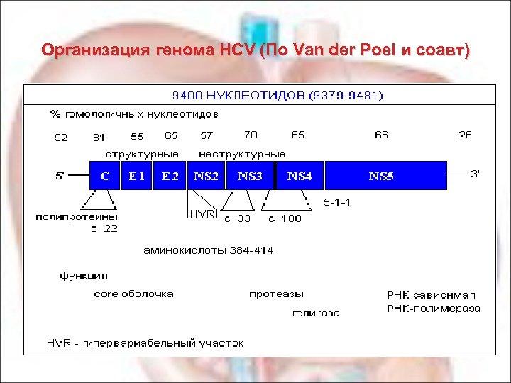 Организация генома HCV (По Van der Poel и соавт)