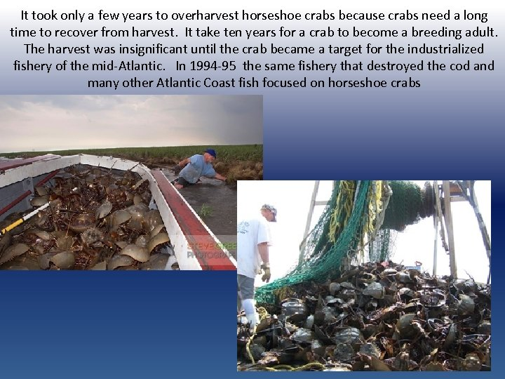 It took only a few years to overharvest horseshoe crabs because crabs need a