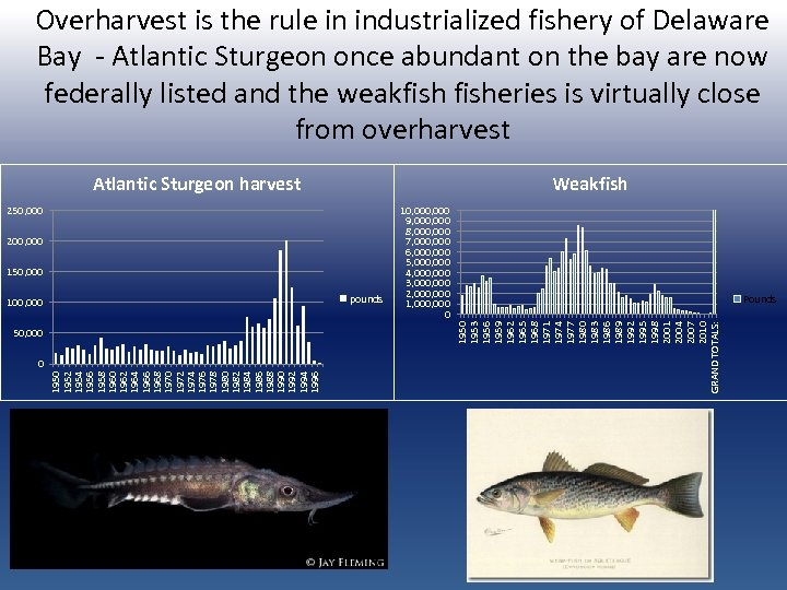 Overharvest is the rule in industrialized fishery of Delaware Bay - Atlantic Sturgeon once