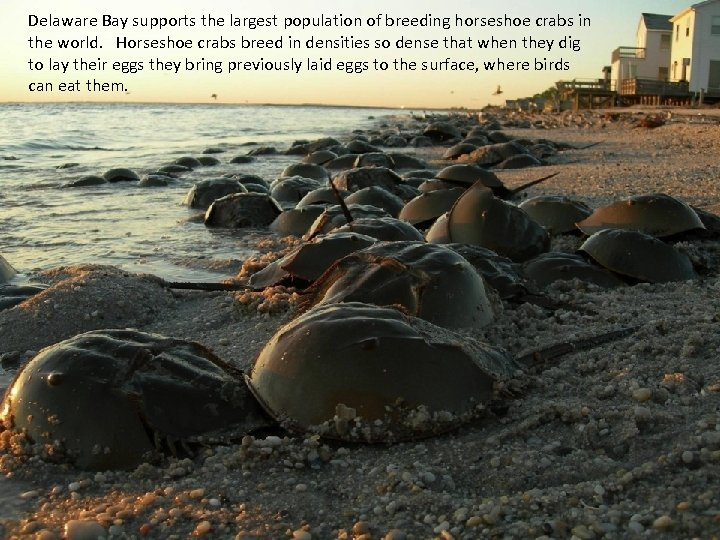 • Delaware Bay supports the largest population of breeding horseshoe crabs in the