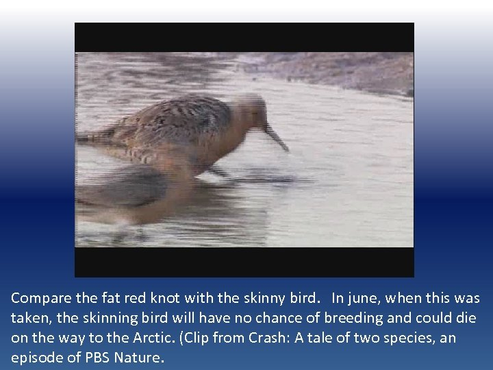 Compare the fat red knot with the skinny bird. In june, when this was