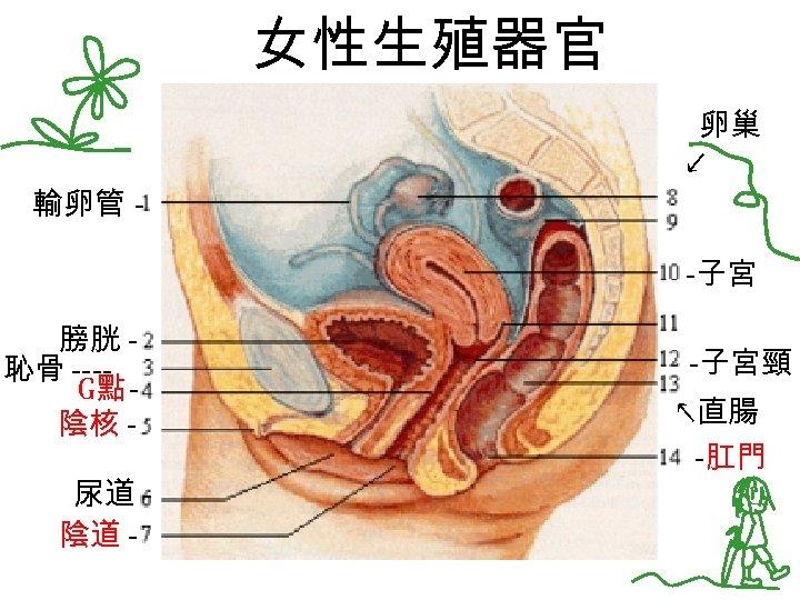 女性生殖器官 卵巢 ↙ 輸卵管 -子宮 膀胱 恥骨 ---G點 陰核 尿道 陰道 - -子宮頸 ↖直腸