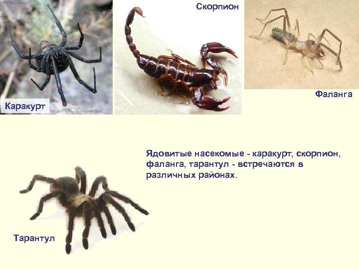Скорпион Фаланга Каракурт Ядовитые насекомые - каракурт, скорпион, фаланга, тарантул - встречаются в различных