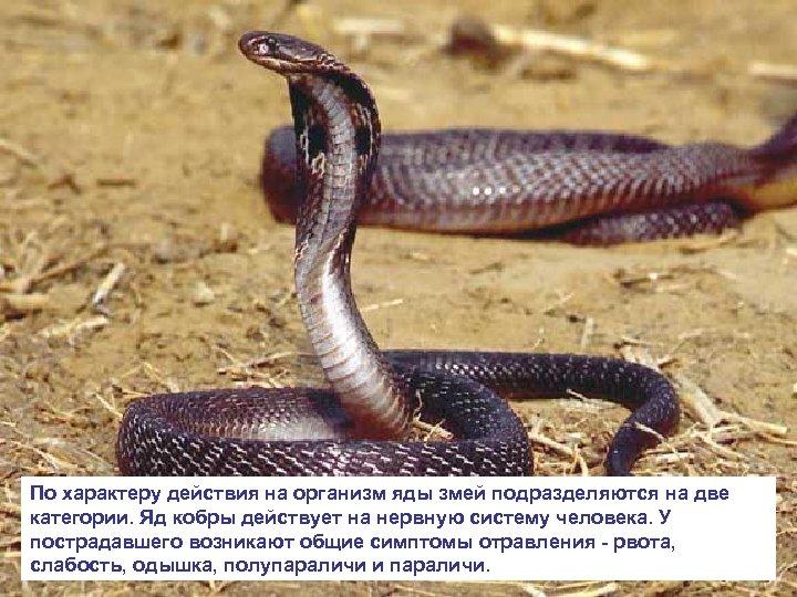 По характеру действия на организм яды змей подразделяются на две категории. Яд кобры действует