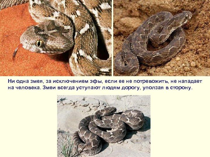 Ни одна змея, за исключением эфы, если ее не потревожить, не нападает на человека.