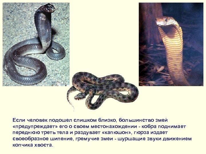 Если человек подошел слишком близко, большинство змей «предупреждает» его о своем местонахождении - кобра