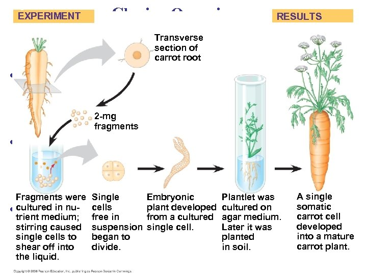 Fig. 20 -16 EXPERIMENT Cloning Organisms RESULTS Transverse section of carrot root • Organismal