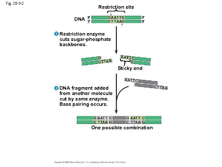 Fig. 20 -3 -2 Restriction site DNA 1 5 3 3 5 Restriction enzyme