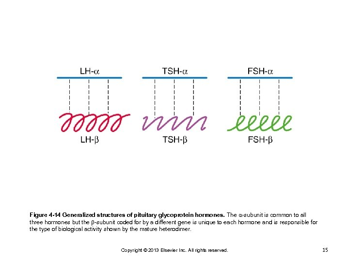 Figure 4 -14 Generalized structures of pituitary glycoprotein hormones. The -subunit is common to