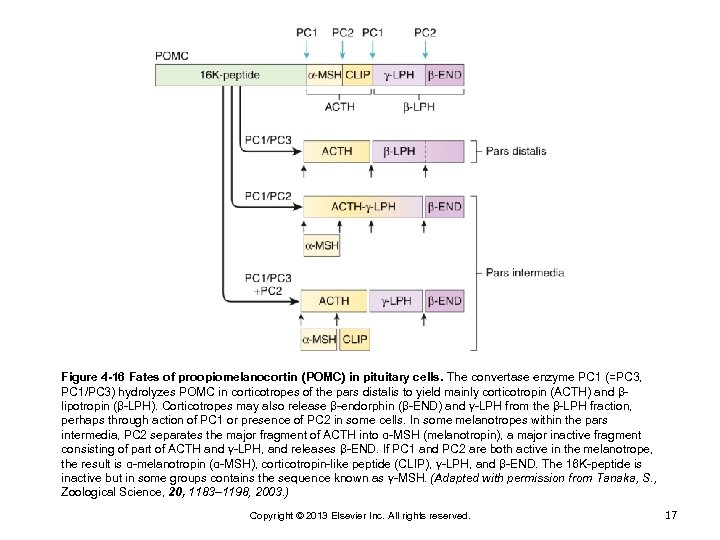 Figure 4 -16 Fates of proopiomelanocortin (POMC) in pituitary cells. The convertase enzyme PC