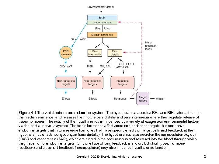 Figure 4 -1 The vertebrate neuroendocrine system. The hypothalamus secretes RHs and RIHs, stores