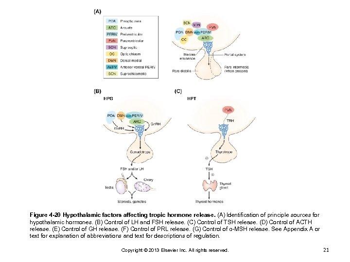 Figure 4 -20 Hypothalamic factors affecting tropic hormone release. (A) Identification of principle sources
