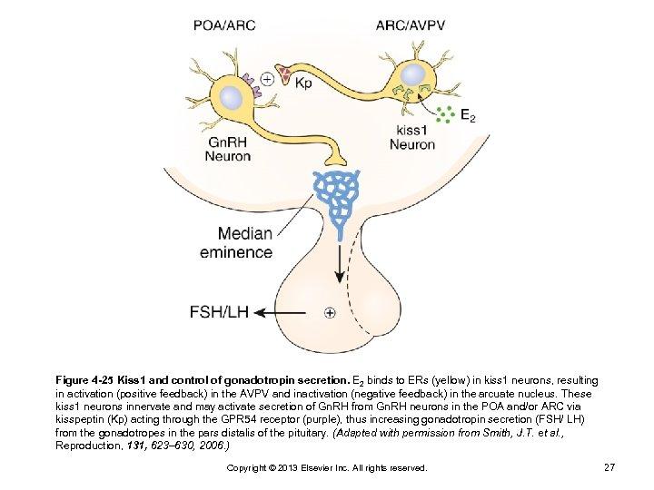 Figure 4 -25 Kiss 1 and control of gonadotropin secretion. E 2 binds to